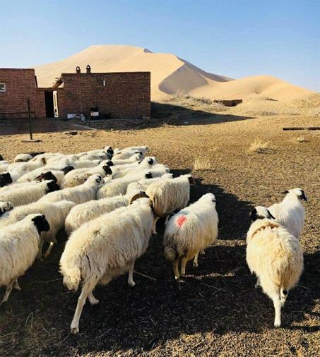 Moutons Badain Jaran